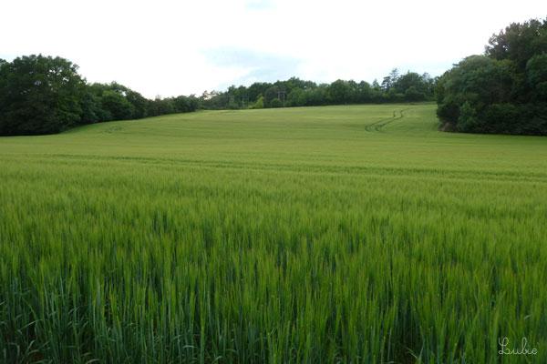 5月終わりの青々とした麦畑。