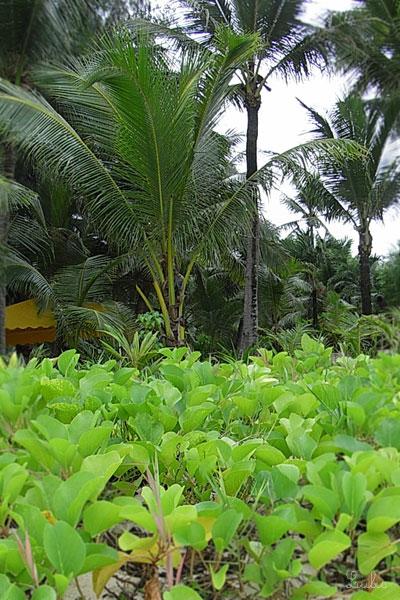 ヤシの木と植物@マニャガハ島 Mañagaha, Saipan